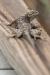 lizard-spiny_C8A3431