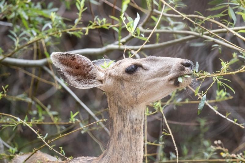 deer_mule_C8A3438