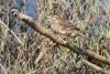 sparrow_savannah_C8A4220