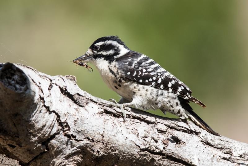 woodpeck-nuttal's_C8A4663