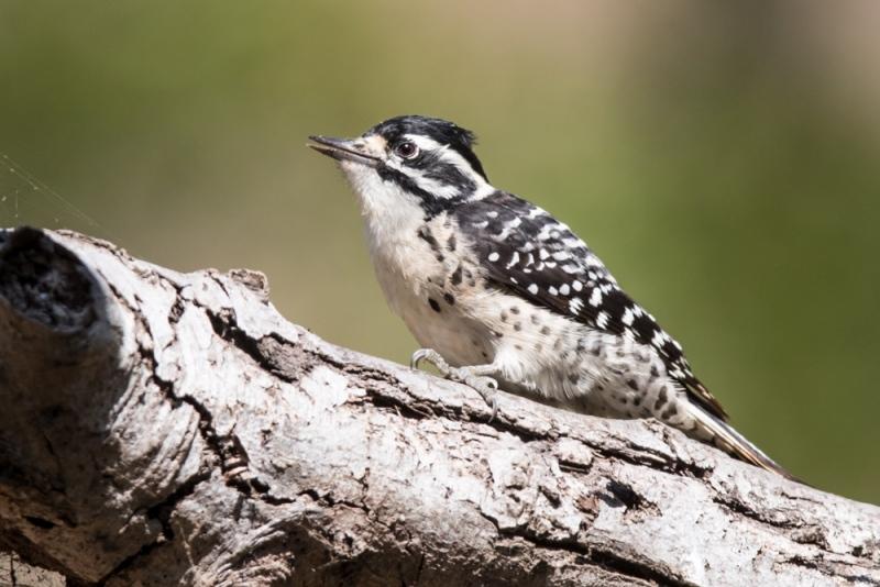 woodpeck-nuttal's_C8A4672