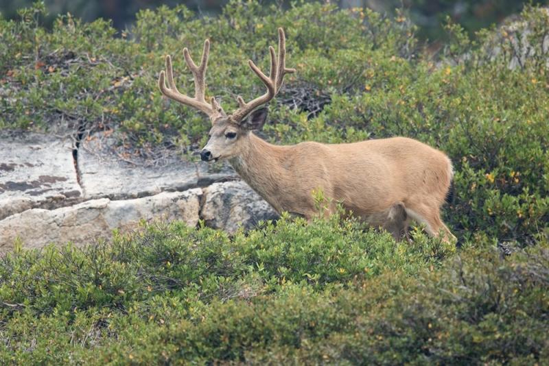 deer_california-blacktail_E5I1933