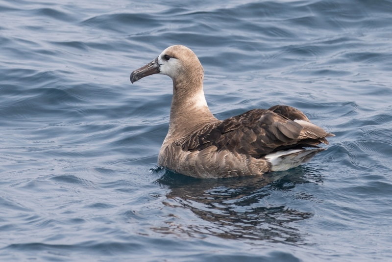 albatross_black-footed_C8A2448