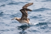albatross_black-footed_C8A2452