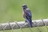 bluebird_western_C8A3469