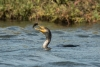 cormorant_double-crested_C8A4369