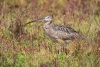 curlew_long-billed_C8A4467