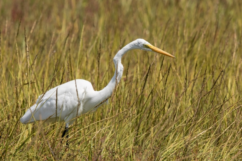 egret_great-white_C8A4443