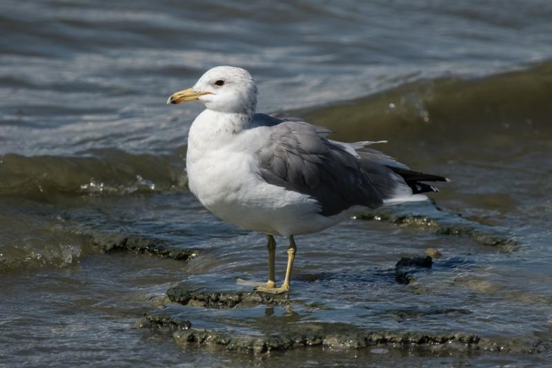 gull_california_C8A3891