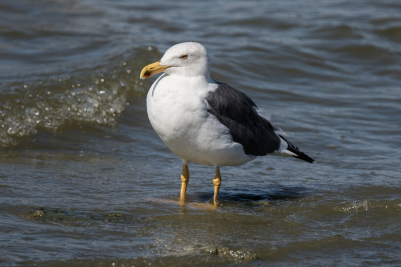 gull_yellow-legged_C8A3899
