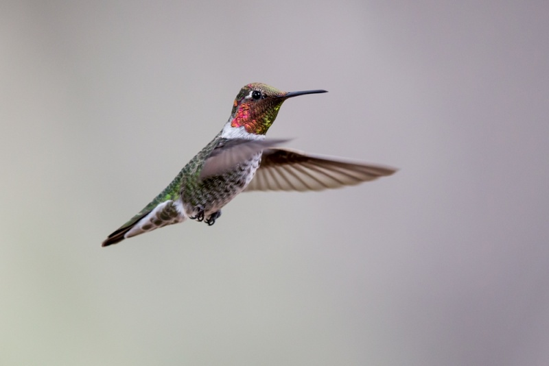 hummingbird_anna's_E5I2197