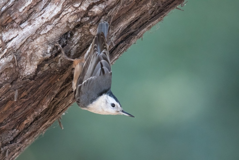 nuthatch_white-breasted_C8A4924
