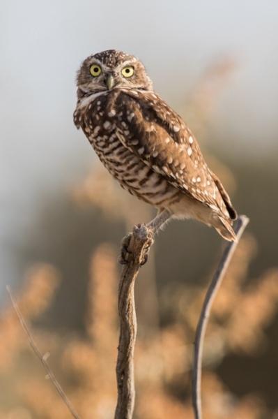 owl_burrowing_C8A3564