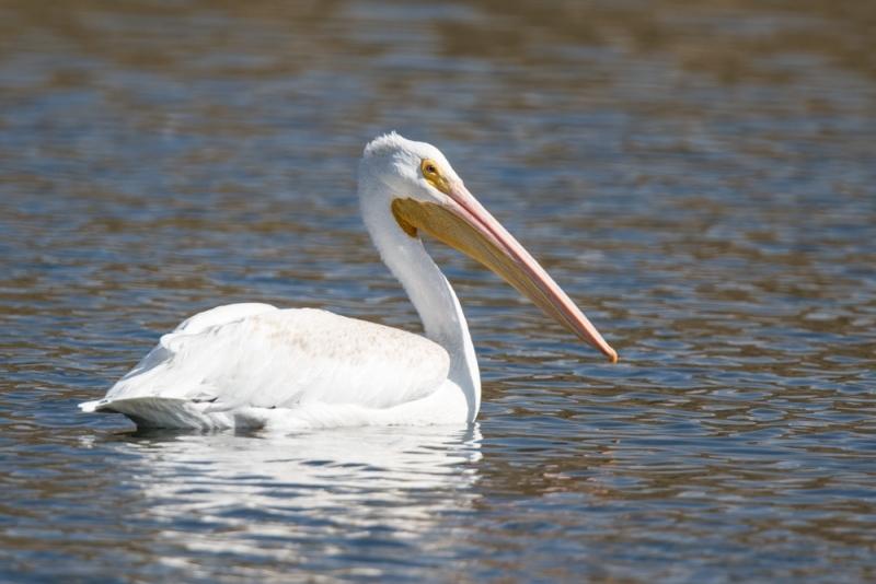pelican_white_C8A3222