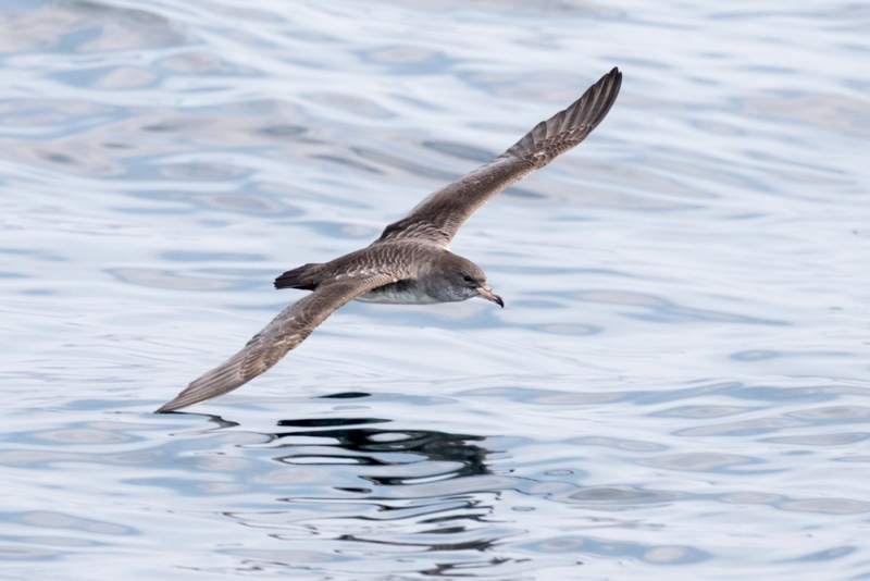shearwater_pink-footed_C8A5970