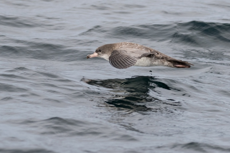 shearwater_pink-footed_C8A6179