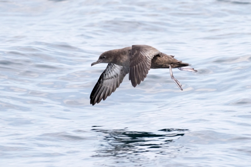 shearwater_sooty_C8A5959