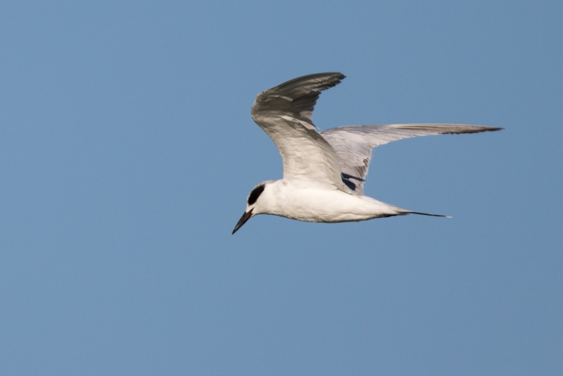 tern_forsters_C8A4034