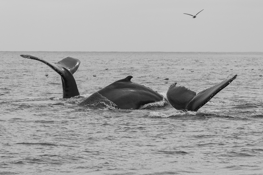 whale_humpback_C8A5680