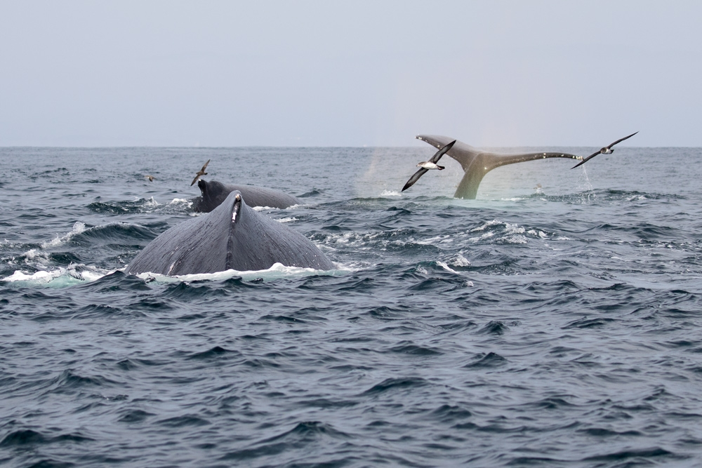 whale_humpback_shearwater_pink-footed_C8A6072