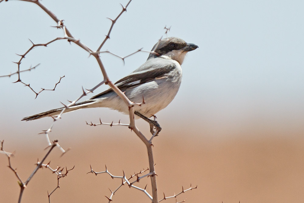 shrike_great-grey(elegans)_MG_7295