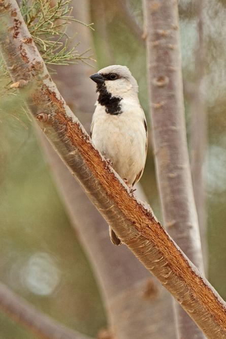 sparrow_desert_MG_7704