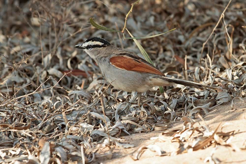 tchagra_black-crowned_MG_8614