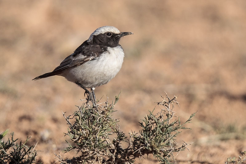 wheatear_red-rumped-0282