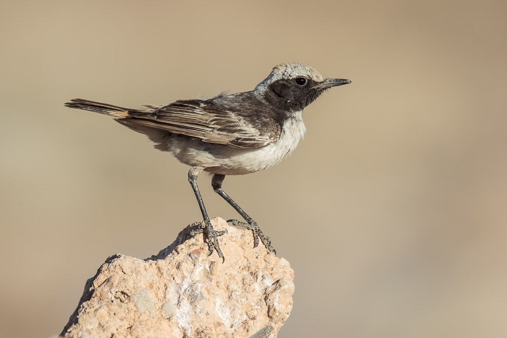 wheatear_red-rumped-0838