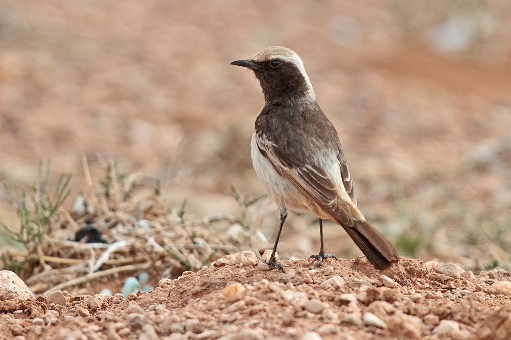 wheatear_red-rumped_MG_8130