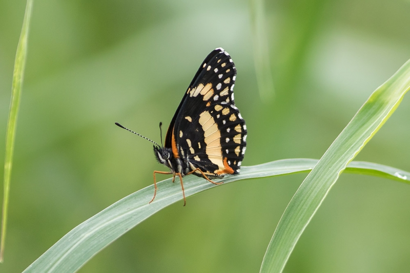 bordered-patch-butterfly_(chlosyne lacinia)_C8A2903