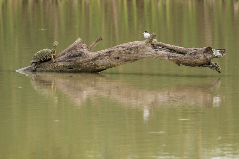 texas-river-cooter&least-tern_C8A2923