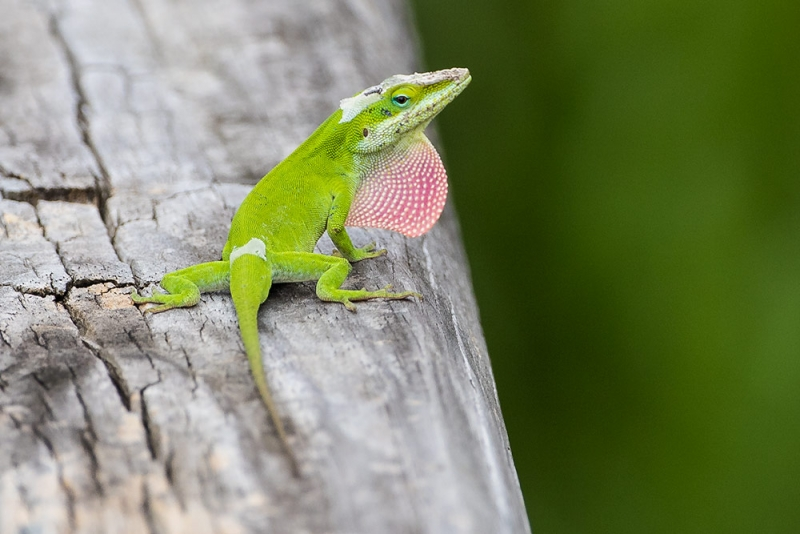 green-anole_C8A5413