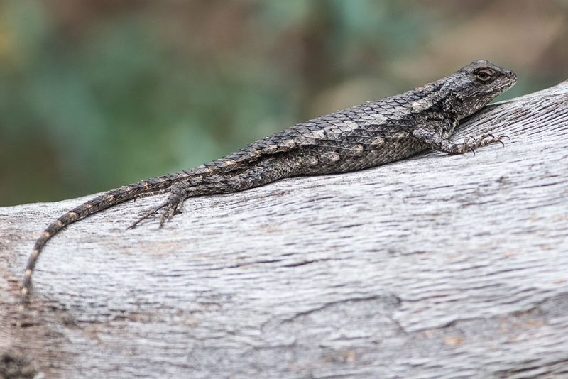 texas-spiny-lizard_E5I4340