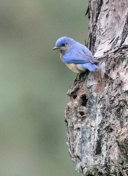 blue-jay_C8A5661