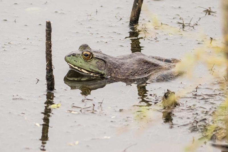 bullfrog_C8A3540