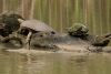 spiny-softshell-turtle&texas-river-cooter_C8A2930