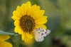 checkered-white-butterfly_(pontia-protodice)_C8A3261