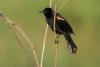 blackbird_red-winged_C8A4263