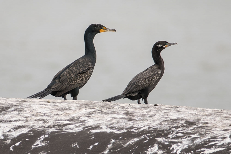 cormorant_double-crested-neotropic_C8A2135