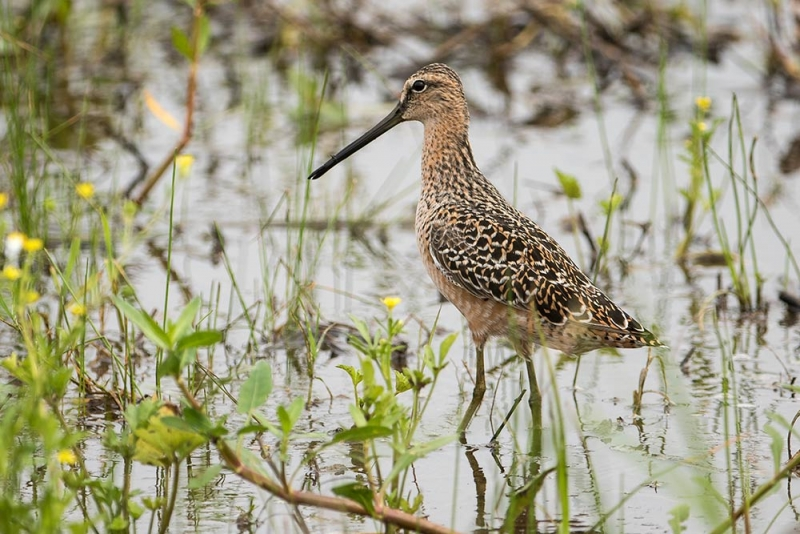 dowitcher_long-billed_C8A3467