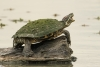 texas-river-cooter_C8A2996