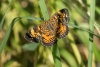 pearl-crescent-butterfly_C8A3256
