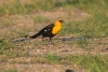 blackbird_yellow-headed_C8A4302
