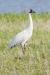 crane_whopping_C8A2067