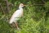 egret_cattle_C8A5263