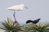 egret_reddish-white-morph-breeding_grackle_great-tailed_C8A2257