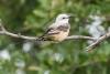 flycatcher_scissor-tailed_C8A4669