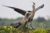 heron_great-blue_C8A2276