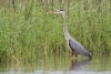 heron_great-blue_C8A4437